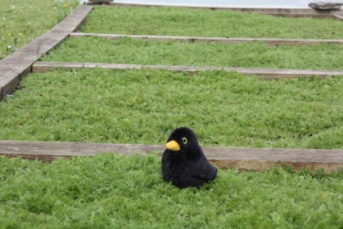 Blackbird on a chamomile lawn