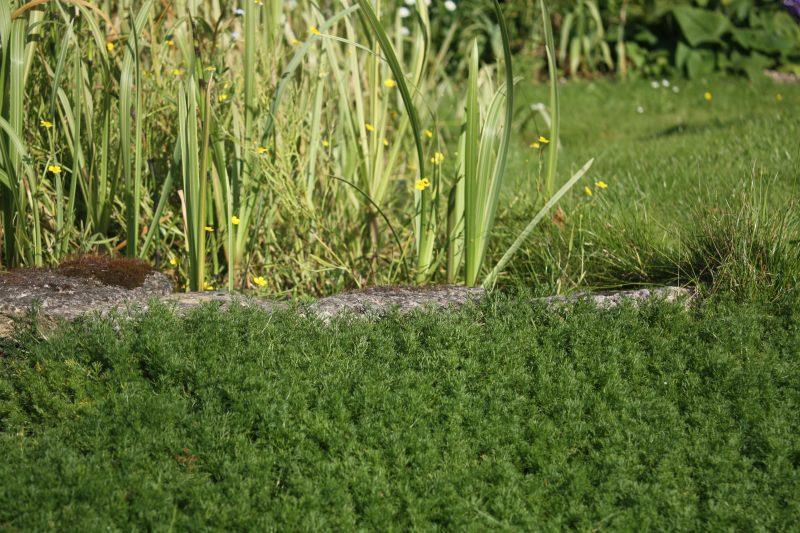 Chamomile lawn edging a pond