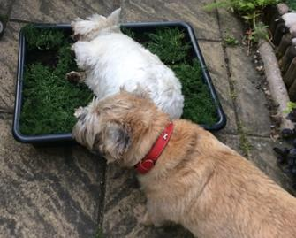 Dogs love chamomile lawns too