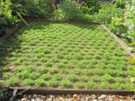 Establishing chamomile plants
