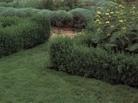 Established chamomile path