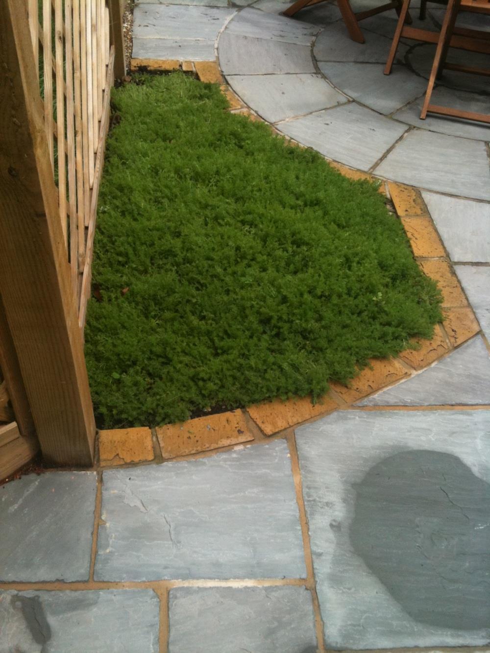 Small chamomile lawn